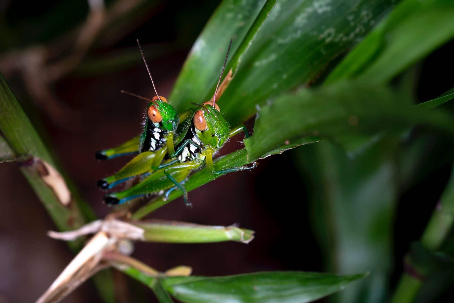 Two grasshoppers on a leaf